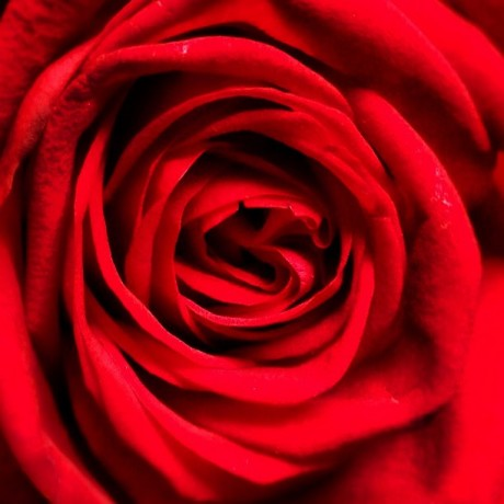 Beauty of a Red Rose