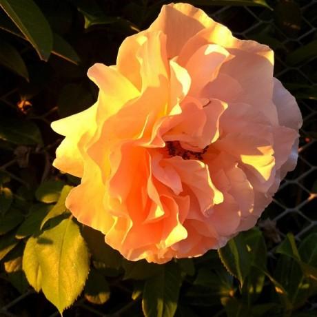 Warm light blossom