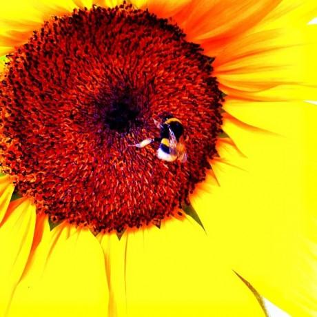Bumblebee Paradise