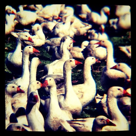 Geese Party