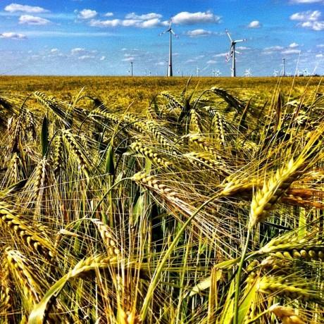 Wheatfield and Windmills