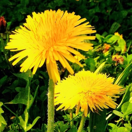 Dandelions and wasp