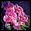 Illuminated Orchids