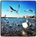 Seagulls with Montfort Castle