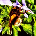 Bumble-bee in the bloom