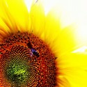 Sunflower with Been