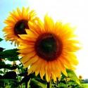 Sunflower Greets