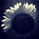 Sunflower Light - Black and White