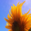 Sunflower Lightness