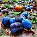 Fruchtvielfalt am Boden - Plums