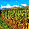Corn Field Scenery