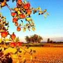 Tree and Apples
