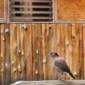 Early bird song