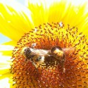 Sunflower with bumblebees