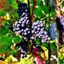 Grapes glory