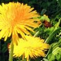 Wasp goes Dandelions