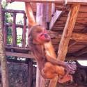 Monkey Red II - swinging