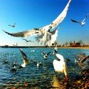 Seagulls - Open Wings