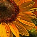 Sunflower with raindrops