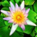 Sunny moment - Lotus