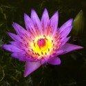LOVE - Serenity of Lotus