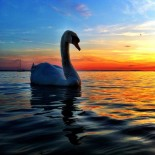 My friend the Swan