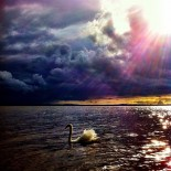 Pure swimming Swan - Rays of Light