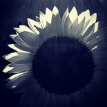 Sunflower Light - Black and White