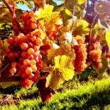 Sunny Grapes