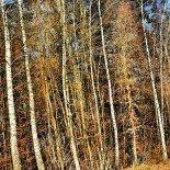 The Birch Wood Pattern