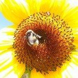 Sun. Flower. Work.
