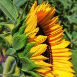 Sunflower from aside