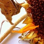 Sunflower's autumn