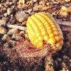 Corn Rest